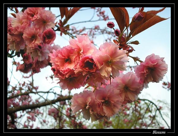 Blossom by jjmorgan36