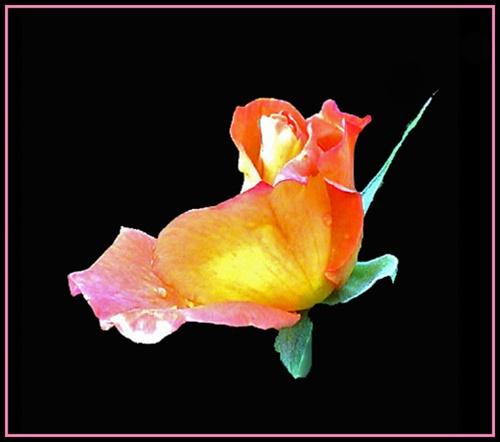 ROSE by JOKEN
