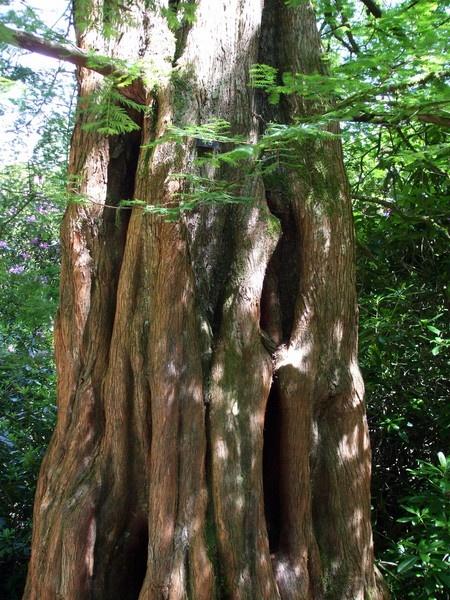 Redwood by Smurfmuffin