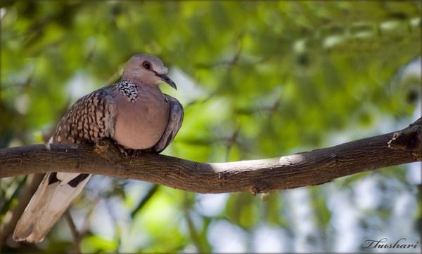 Dove by Thushari