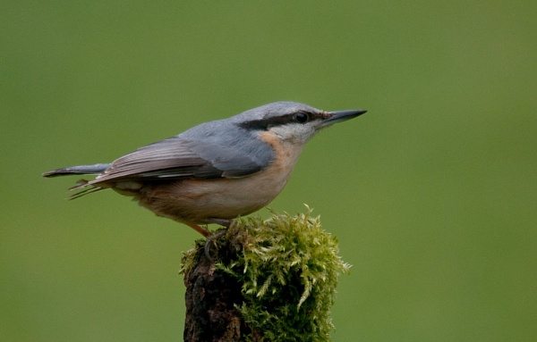 Nuthatch by jonah794