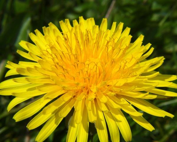 Dandelion by cricketcaz