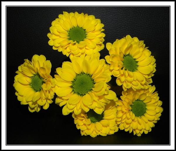 Chrysthanthemums by rpba18205