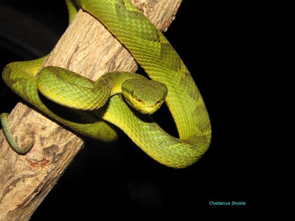 Bamboo Pit Viper by Chaitanya