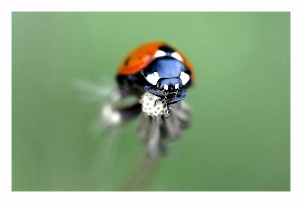 ladybird by photoflacky