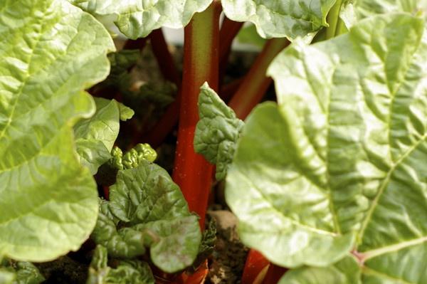 Rhubarb by Pelican_Art