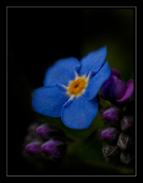 Forget me not. by jackfisher