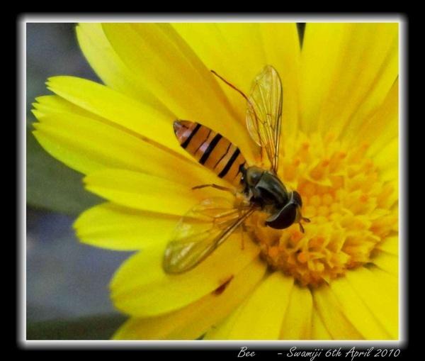 Bee by Swamiji