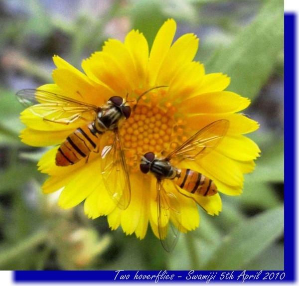 Two flies by Swamiji