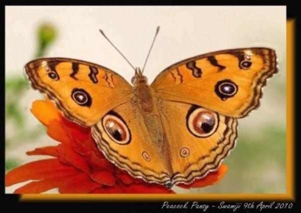 Peacock pansy by Swamiji