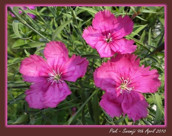 Pink by Swamiji