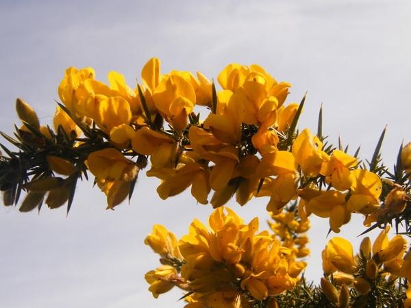 Yellow Gorse by framojunior
