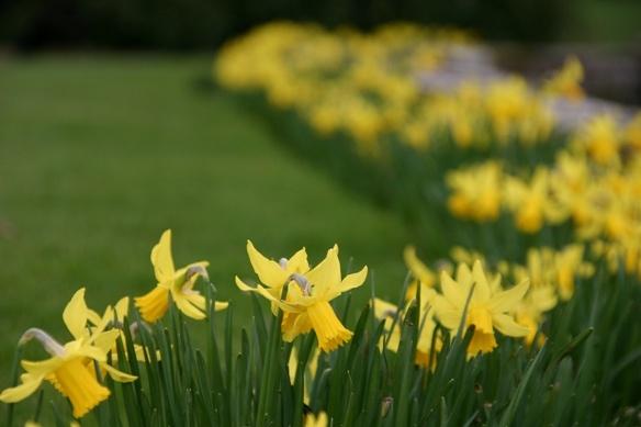Daffodilsssssss by chrisvannamen