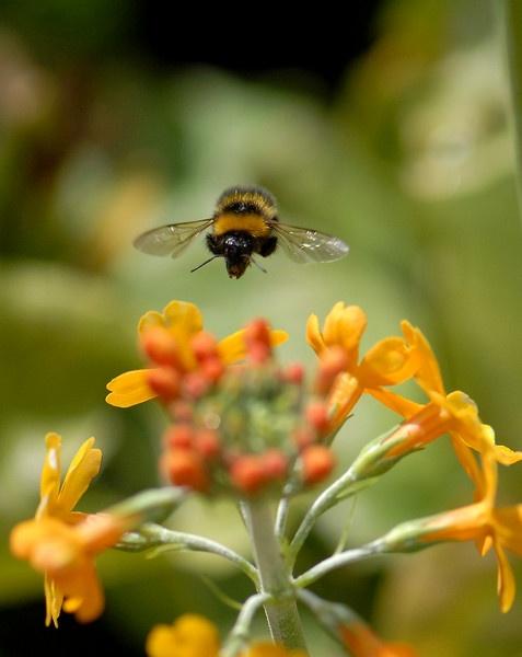 Bee in Flight by ChrisJD