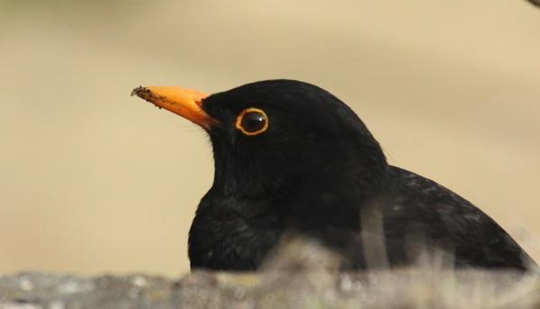 Garden Blackbird by supervm2