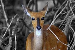 Bushbuck (Formerly Impala)