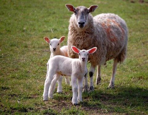 "\""Spring Lambs\"" by BigKiz"
