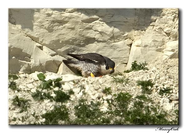 Peregrine Falcon by Shroomer