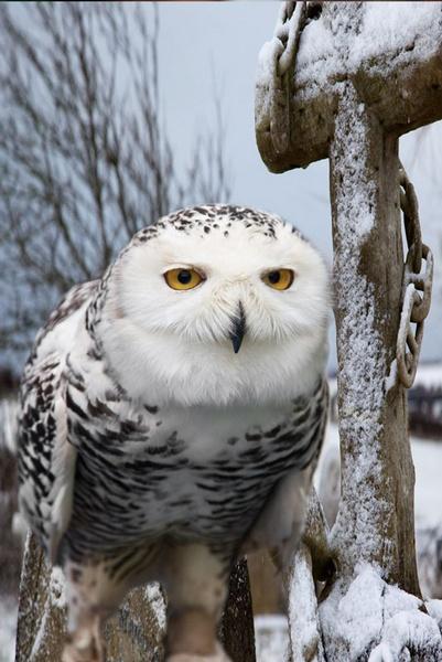snowy owl by STUARTHILL758