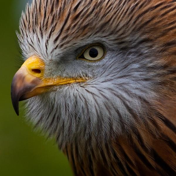 Hawk................ by morpheus1955