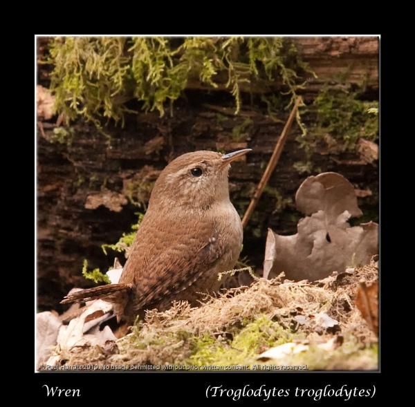 Wren (Trolglodytes troglodytes) by harrattp