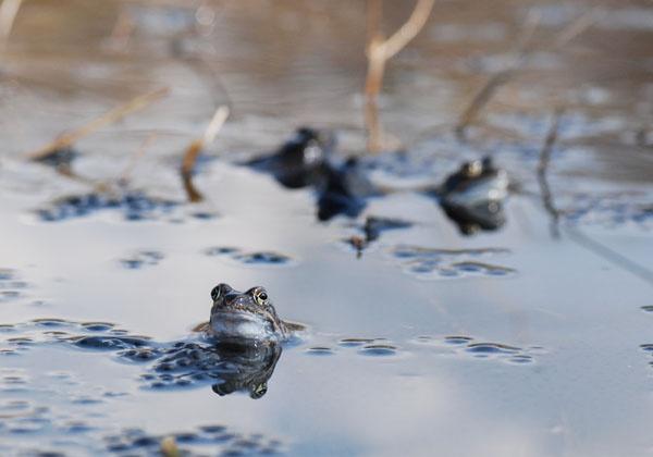 frog by sepulturek