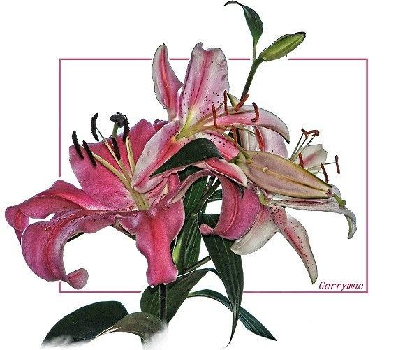 Lily by gerrymac