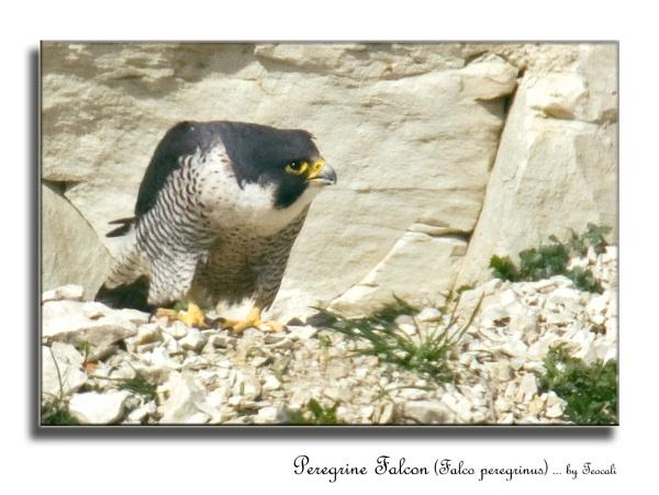 Wild Peregrine Falcon (Falco peregrinus) by teocali