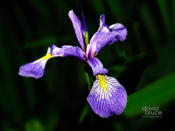 Iris by Fuimus