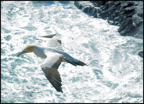 Gannet by welshjohn