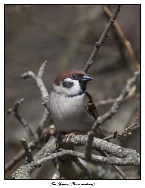 Tree Sparrow (Passer montanus) by Ray42
