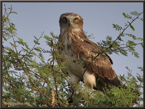 "\""Short Toed Snake Eagle\"" by nasoteya"