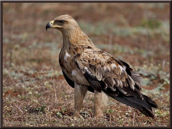 "\""Tawny Eagle\"" by nasoteya"