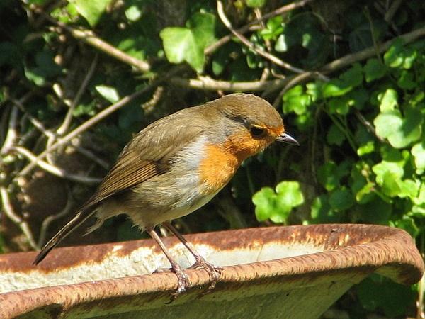 My first Robin by grockleJB