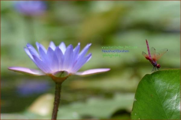 Dragon Fly on Lily leaf! by naushadme