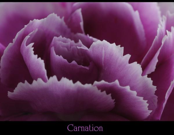 Carnation by maroondah