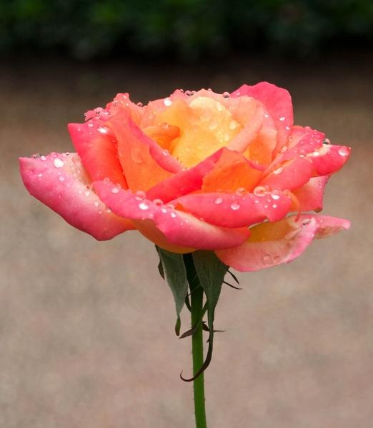 Rainy Rose II by gjayesh