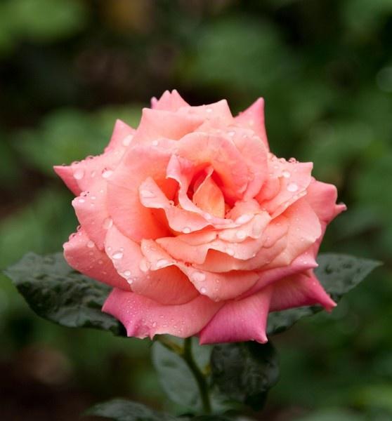 Rainy Rose III by gjayesh