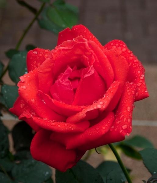 Rainy Rose IV by gjayesh