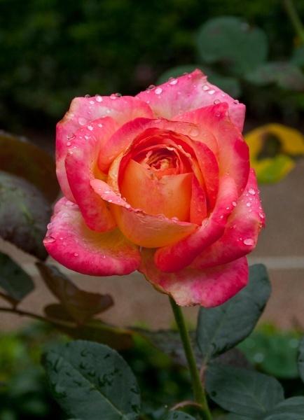 Rainy Rose V by gjayesh
