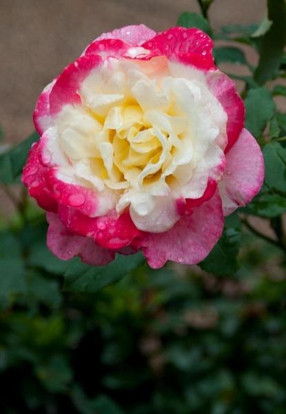 Rainy Rose VI by gjayesh