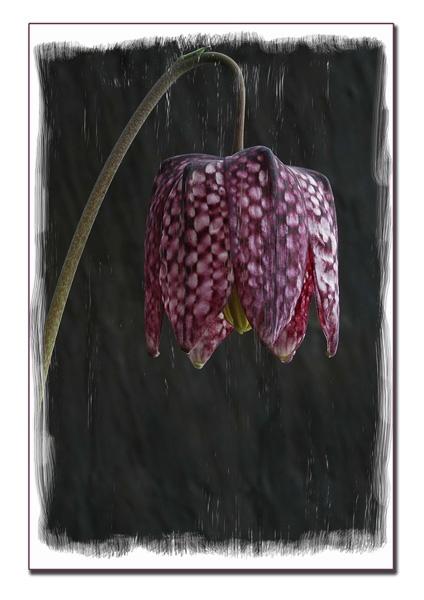 Fritillaria. by ironman