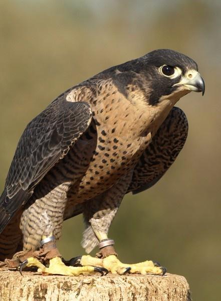 Peregrine Falcon by expatscot