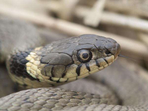 Grass Snake by Gio