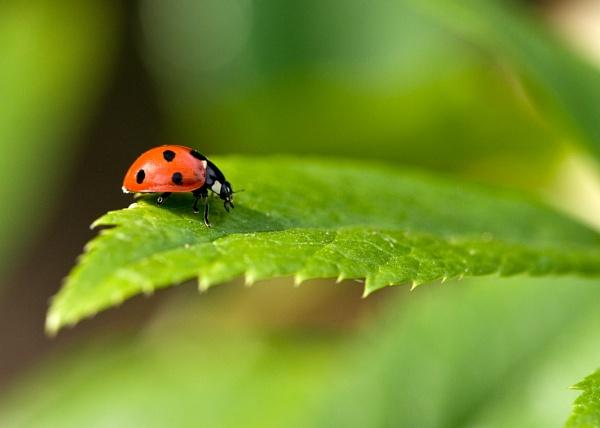 Ladybird by edjbartos