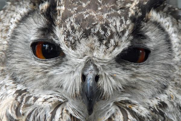 evil eagle owl by kieranmccay