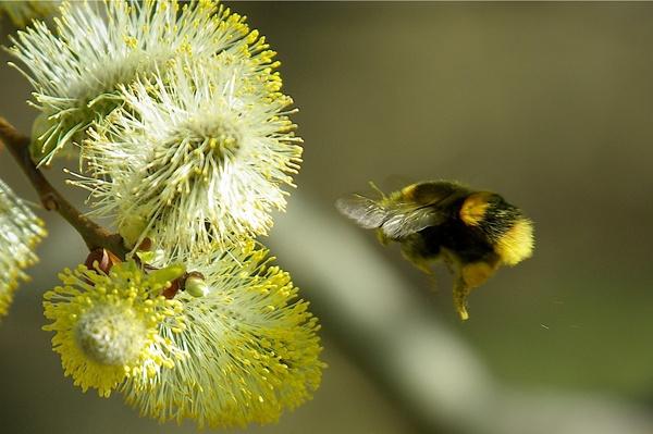 Springtime bumblebee by saltholme