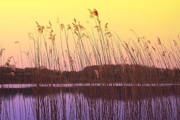 Reeds III by rockfish