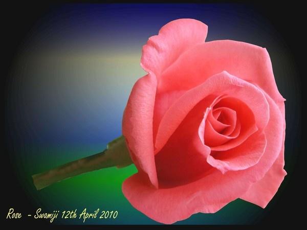 Rose by Swamiji