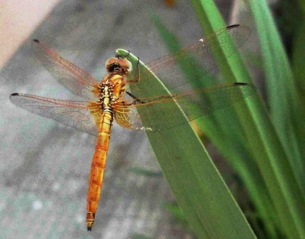 Dragonfly by Swamiji